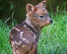 Pudu-Bristol-Zoo-by-Bob-Pitchford-2