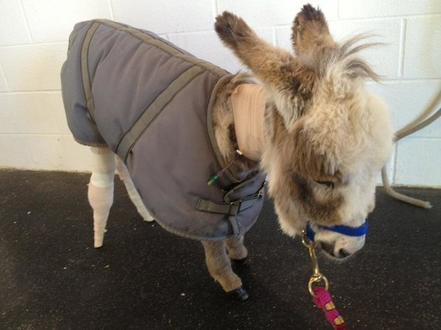 Mini-Donkey with Prosthetic Leg is Happier than Ever!