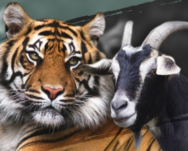 41  life-goat-tiger-friendship-cover