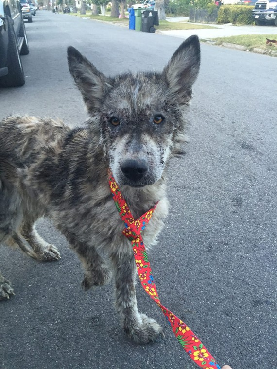Julia The Wolf Dog Rescued!