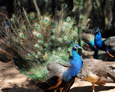 Male peacocks