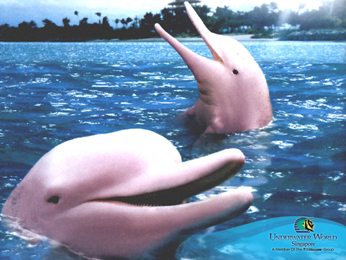Think Pink: Dolphin